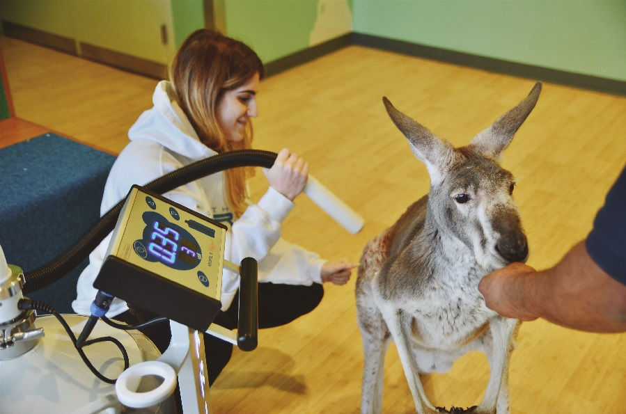 Ariana Mazzurco, Director of Operations at Nordic Edge, provides a localized cryotherapy treatment to Dave the kangaroo at the Bronx Zoo.